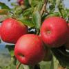 Feuilles et fruits
